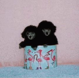 Calisa Silver Poodle Twins